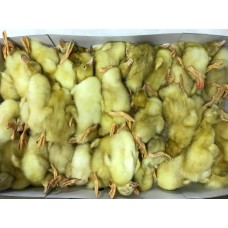 Ducklings (+/- 70gm each) - Box of 100