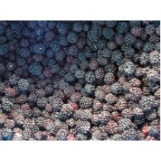 Blackberries IQF - 10kg box