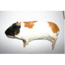 Guinea Pig Mini - (50>150gm)