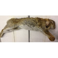 Wild Rabbit - UK