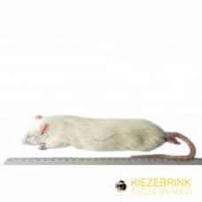 Jumbo Rat (350 - 450gm)